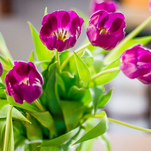 purple-tulips-1